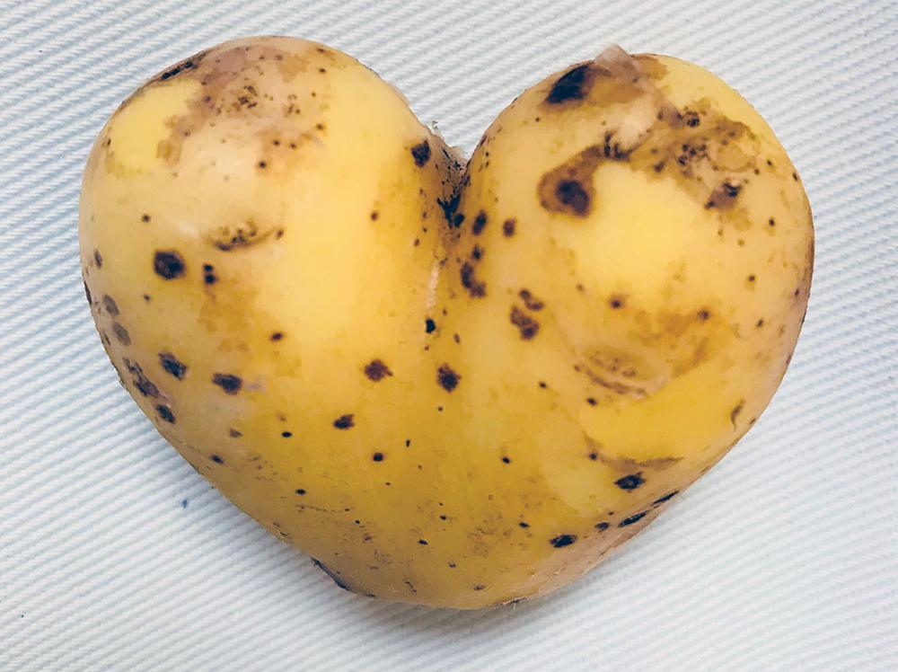 Tuttu peruna tunnetuksi - #peruna365 nostattaa ruokailmiötä perunasta - MTK